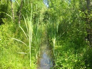Creazione Zona Tampone arborea nel sito NICOLAS a Bonisiolo