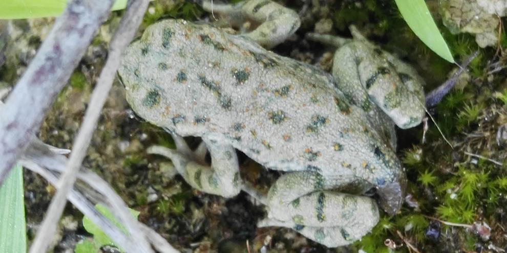 Giovane esemplare di Rospo smeraldino al margine dei bacini realizzati sullo scolo Zermason a Marcon (VE)